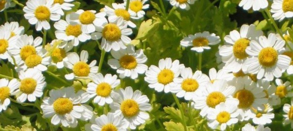 Feverfew photo