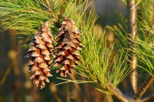 DIY Pine Essential Oil