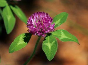 red-clover-flower-113867_1920