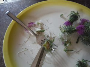 foraging milk thistle nuts