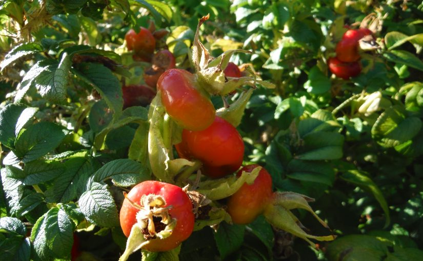 Foraging Rose Hips for Herbal Tea