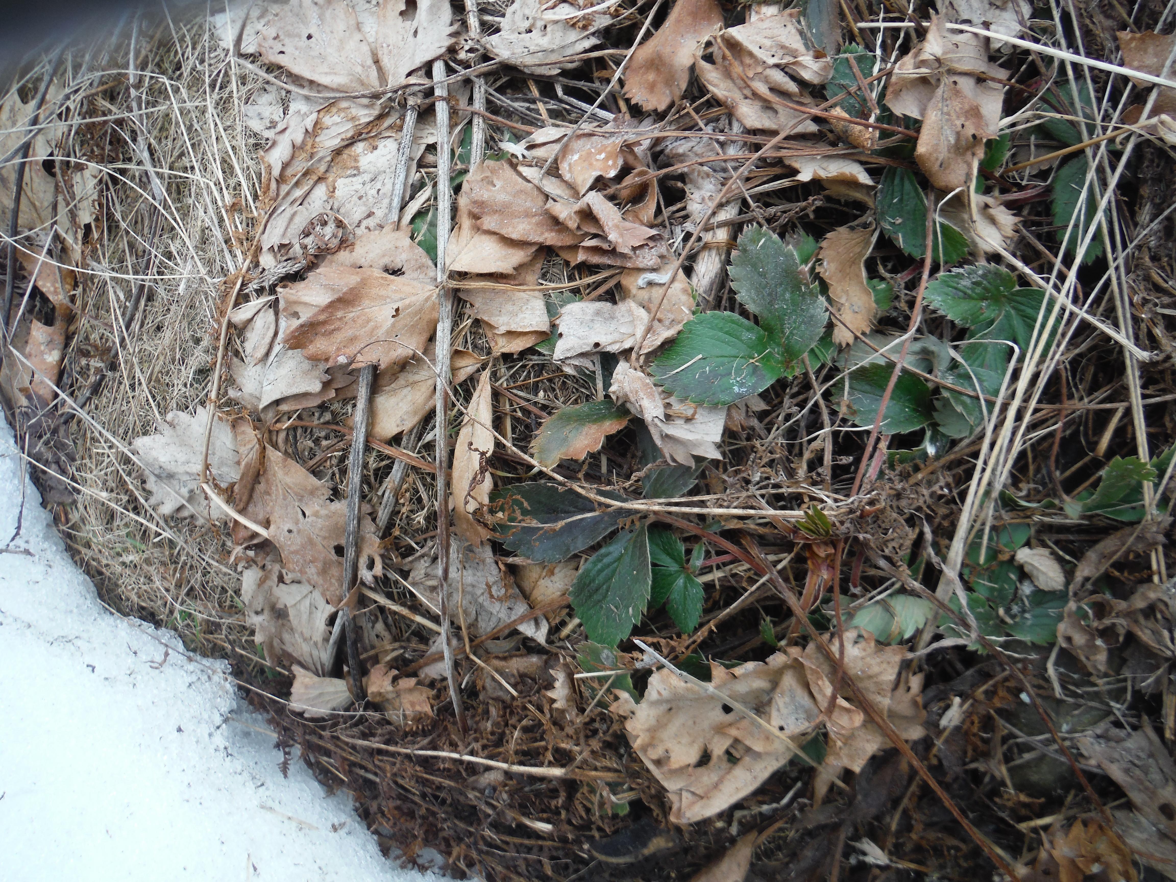 forage strawberry leaf